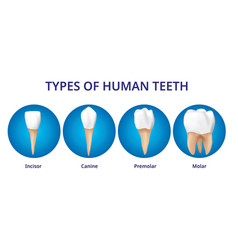 Types human teeth human bone anatomy 3d vector