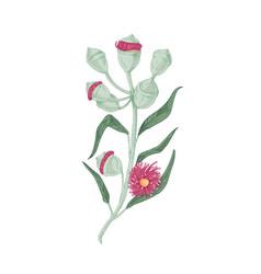 Blooming australian eucalyptus flower with leaves vector