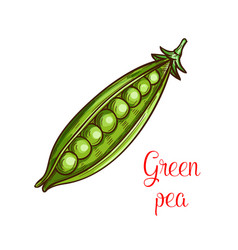 Green pea vegetable sketch of fresh legume vector