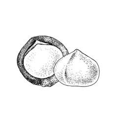 hand drawn macadamia nuts vector image