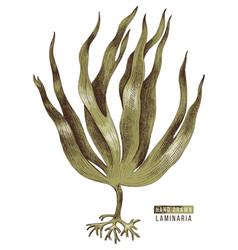 Hand drawn colorful laminaria digitata seaweed vector