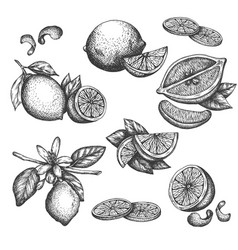 hand drawn lime or lemon set blossom plant vector image
