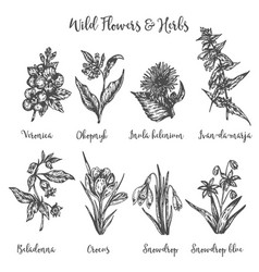Herbs and wild flowers drawing set vector