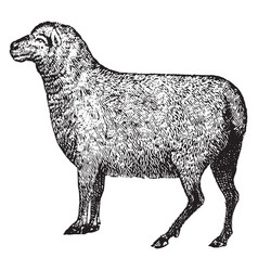 Sheep vintage vector