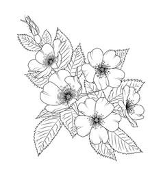 Wild rose rosa canina cherry sacura blossom flower vector