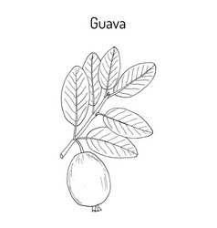 yellow guava psidium guajava tropical fruit vector image