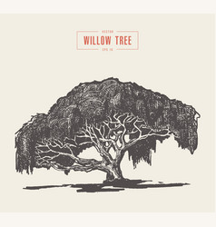 high detail vintage willow tree hand drawn vector image