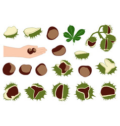 Horse chestnuts vector