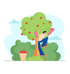 Man farmer pick apples to basket male gardener vector