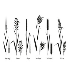 cereals plants set vector image