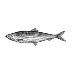 ink sketch of herring vector image