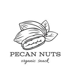 hand drawn pecan nuts vector image