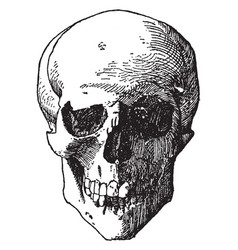Skull head was a design found on the shield of vector