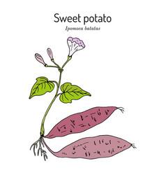 Sweet potato ipomoea batatas vector