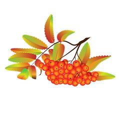 autumn rowan berries vector image
