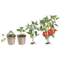 Bell pepper growth stages colorful sketches vector