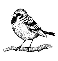 sparrow bird engraving vector image