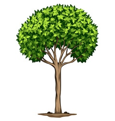 A Laurus nobilis tree vector