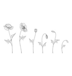 hand drawn poppy floral vector image