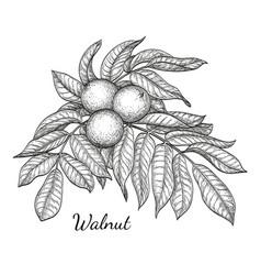 Ink sketch of walnut branch vector
