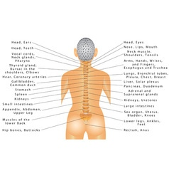 Spine and All Organs vector image
