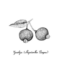 hand drawn of guabiju fruits on white background vector image
