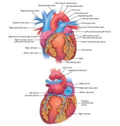Heart diagram vector image