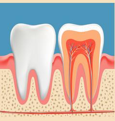 Human teeth diagram cross section cavity tooth vector