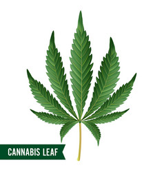 Marijuana leaf green hemp cannabis sativa vector