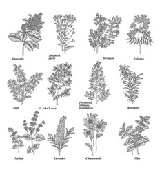 Set medical and cosmetic herbs hand drawn vector