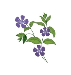 Periwinkle Wild Flower Hand Drawn Detailed vector image