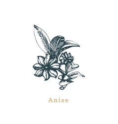 Anise sketchdrawn spice herbbotanical vector