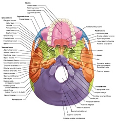 Cranial base diagram superior view vector