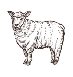 Sheep farm animal sketch isolated sheep mammal on vector