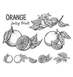 oranges hand drawn sketch vector image