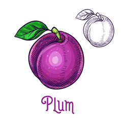 plum sketch isolated fruit icon vector image vector image