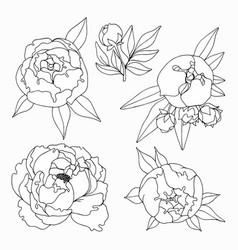 peonies hand drawing set vector image