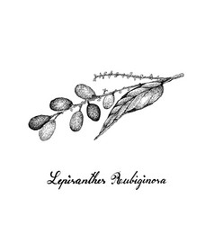 berry fruits of hand drawn sketch lepisanthes vector image