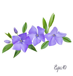 Branch of periwinkle flowers vector