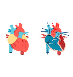 Human heart and blood flow vector