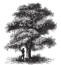 Artocarpe Breadfruit engraving vector image vector image