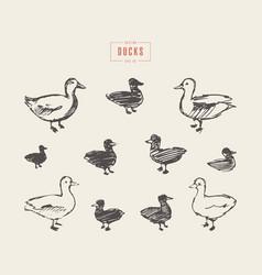 ducks hand drawn sketch vector image vector image
