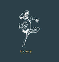 celery sketch drawn spice herb botanical vector image