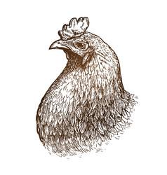 Hand drawn portrait chicken poultry farm vector
