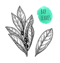 Ink sketch of bay leaves vector