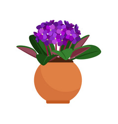 Viola house plant in flower pot vector