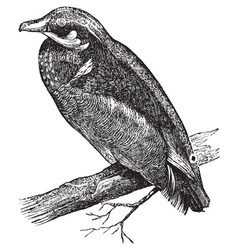 Carolina duck engraving vector image vector image