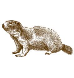 Engraving of alpine marmot vector