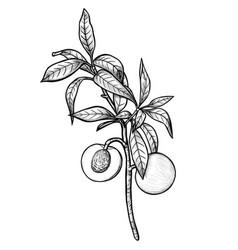 hand drawn peach branch vector image