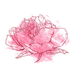 hand drawn peony flower vector image